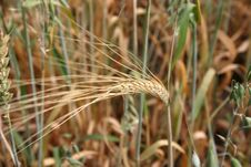 Free Wheat Spike Stock Photo - 180400