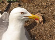 Free Seagul 2 Stock Images - 182554