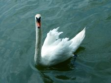 Free King Swan Royalty Free Stock Photos - 182848
