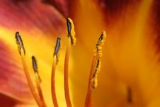 Free Lily Anthers Detail Royalty Free Stock Photo - 184525