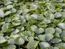 Free Lilypads Royalty Free Stock Photo - 184635