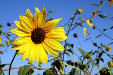 Free Wild Sunflower Royalty Free Stock Image - 185196