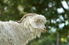 Free Mountain Sheep Stock Images - 185624