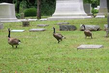 Graveyard Geese 2 Stock Photo