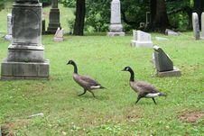 Free Graveyard Geese 1 Stock Image - 186231