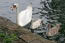 Free Mother Swan & Babies Stock Photos - 186233