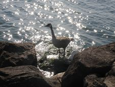 Free Goose On A Rock Royalty Free Stock Photos - 186778