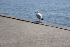 Free Seagull Stock Photography - 187522