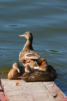 Free Duck With Ducklings Stock Photography - 187822