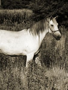 Free Beautiful Gray Horse In Sepia Stock Images - 188304