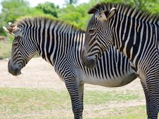 Free Closeup Profile Shot Of Two Zebra Royalty Free Stock Photography - 189327
