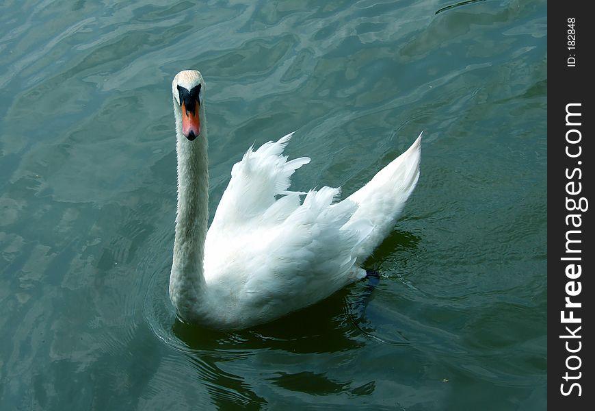 King Swan