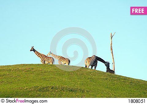 Free Group Of Giraffes Stock Image - 1808051