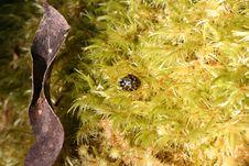 Leaf Beetle Royalty Free Stock Images