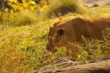 Free Lioness At Rest Stock Image - 1801261