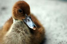 Free Duckling Sitting Stock Photo - 1804390