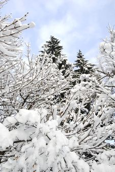 Free Snow Covered Trees Royalty Free Stock Photography - 1804797