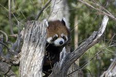 Free Red Panda Royalty Free Stock Photography - 1804917
