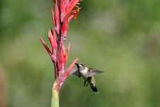 Humming Bird In Flight Stock Photos