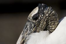Free Wood Stork 1 Stock Photo - 1806940