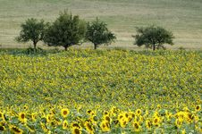 Free Sunflowers Stock Images - 1807074