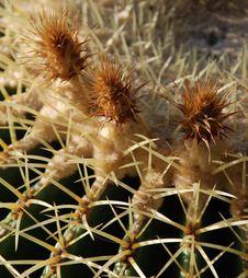 Golden Barrel Cactus Flowers 2 Royalty Free Stock Photos