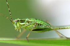 Free Nature Grasshopper Royalty Free Stock Photos - 1809418