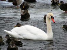 Free Winter Swan Stock Images - 1809474
