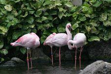Free Pink Flamingos Stock Images - 1809494