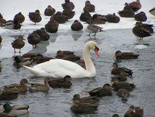 Free Winter Swan 2 Royalty Free Stock Photo - 1809495