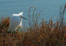Free Snowy Egret Stock Photos - 1809673
