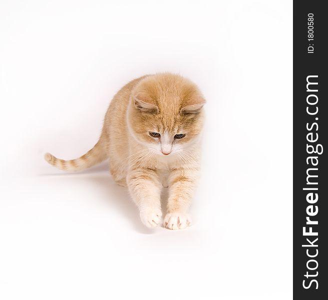 Yellow kitten on white background
