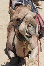 Free Camel Head Royalty Free Stock Photography - 18002137