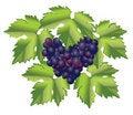 Free Grape Brush Royalty Free Stock Images - 18005739