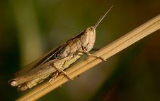 Grasshopper On The Grass Royalty Free Stock Photos