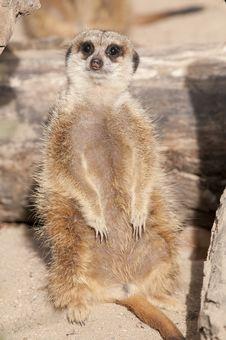 Free Suricate Or Mongoose Or Meerkat Stock Photo - 18001200