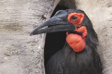 Free Cafer Or Southern Ground Hornbill Royalty Free Stock Images - 18001219