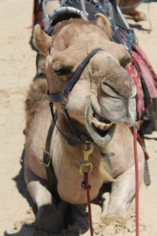 Free Camel Head Royalty Free Stock Photography - 18002137
