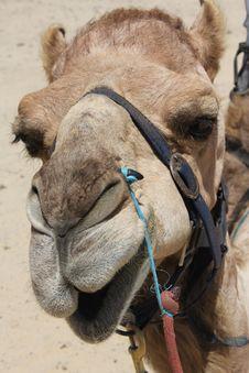 Free Closeup Of Camel Head Stock Photo - 18002170