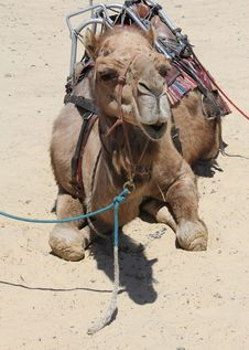 Free Camel In The Sand Stock Image - 18002211