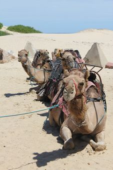 Free Group Of Camels Royalty Free Stock Image - 18002266