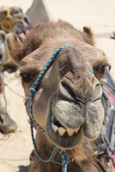 Free Camel Head Stock Photo - 18002480