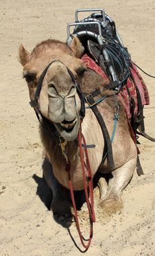 Free Camel In The Sand Stock Images - 18002594