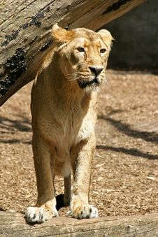 Free Lion Looking At Prey Royalty Free Stock Image - 18003366