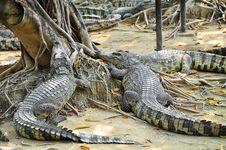 Free Crocodile Farm In Thailand. Royalty Free Stock Photos - 18003478
