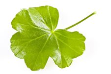 Free Green Leaf On White Stock Images - 18003784