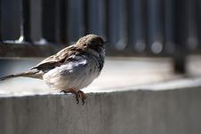 Free Sparrow Royalty Free Stock Image - 18004166