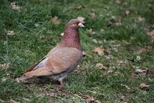 Free Pigeon Stock Photography - 18004182