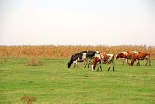 Cows In Pasture