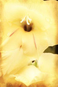Free Yellow Gladiolus On Grunge Texture Royalty Free Stock Photo - 18005235